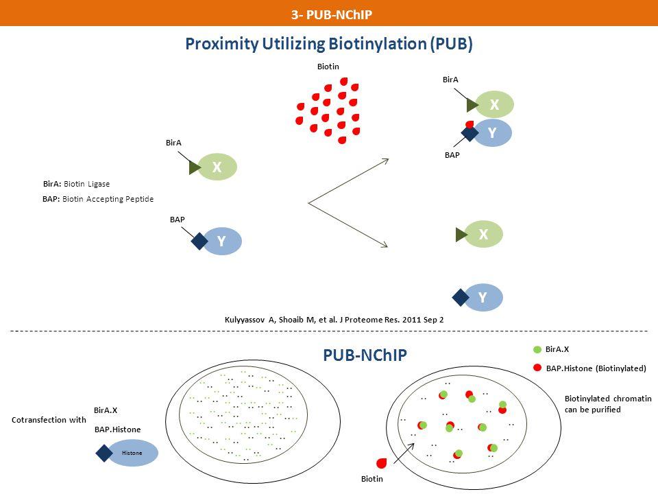 Y BAP X BirA BirA: Biotin Ligase BAP: Biotin Accepting Peptide Biotin 3- PUB-NChIP Proximity Utilizing Biotinylation (PUB) Kulyyassov A, Shoaib M, et