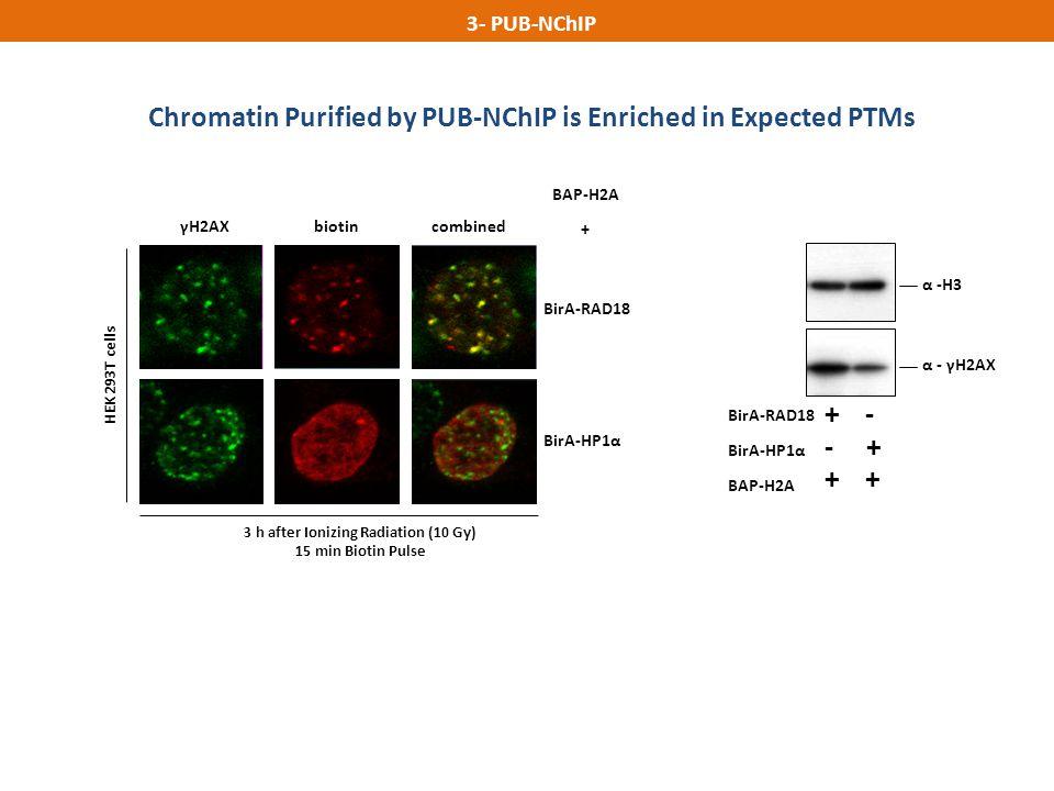 BirA-HP1α α -H3 α - γH2AX BirA-RAD18 BirA-HP1α BAP-H2A + - - + + γH2AXbiotincombined BirA-RAD18 BAP-H2A + 3 h after Ionizing Radiation (10 Gy) 15 min