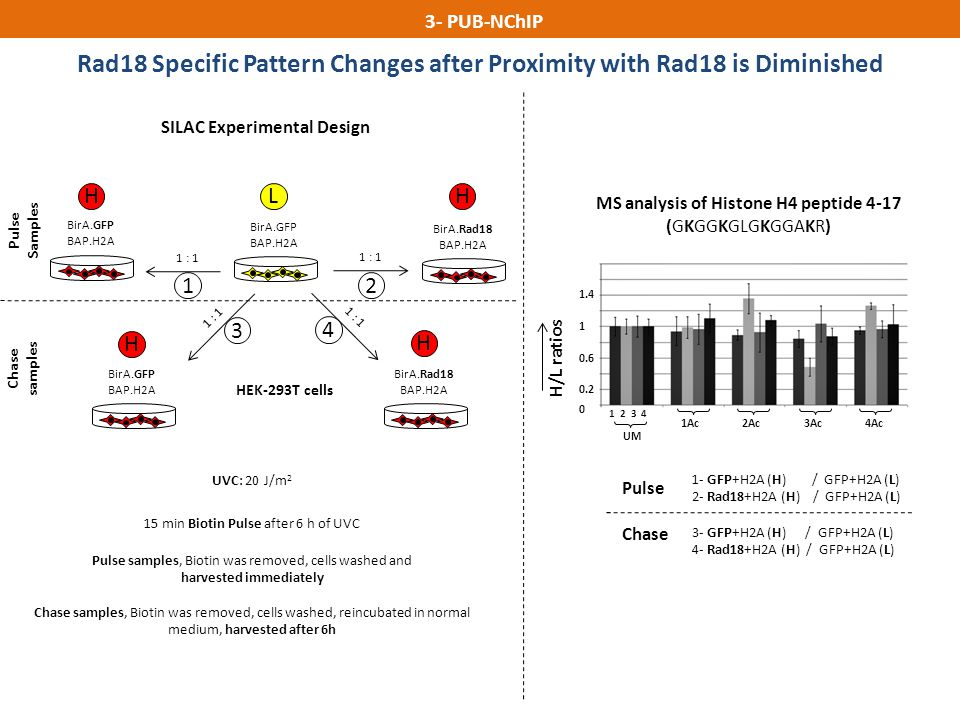 Rad18 Specific Pattern Changes after Proximity with Rad18 is Diminished H/L ratios MS analysis of Histone H4 peptide 4-17 (GKGGKGLGKGGAKR) 1 2 3 4 UM