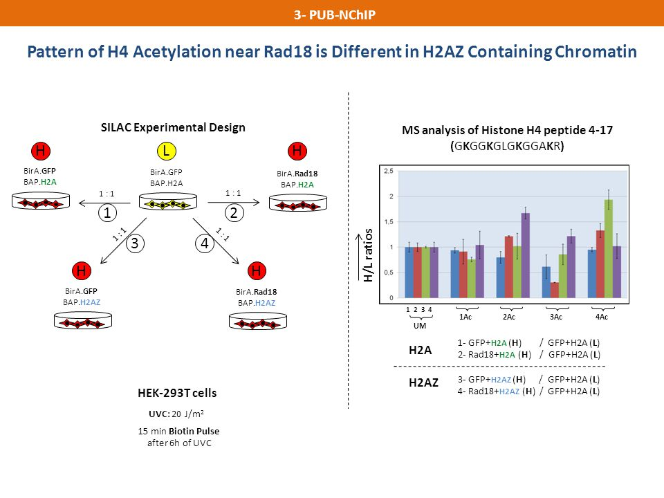 Pattern of H4 Acetylation near Rad18 is Different in H2AZ Containing Chromatin 3- PUB-NChIP 1 2 3 4 UM 1Ac2Ac3Ac4Ac H/L ratios 1- GFP+ H2A (H) / GFP+H