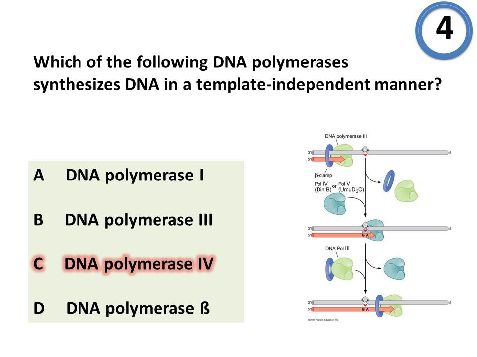 Which of the following DNA polymerases synthesizes DNA in a template-independent manner? 4