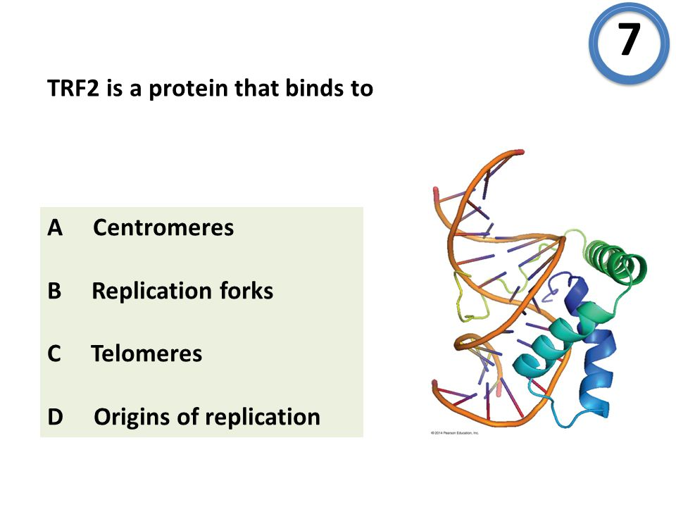 TRF2 is a protein that binds to A Centromeres B Replication forks C Telomeres D Origins of replication 7
