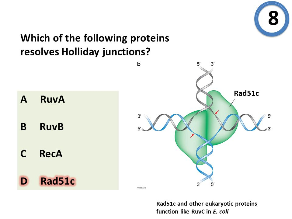 Which of the following proteins resolves Holliday junctions.