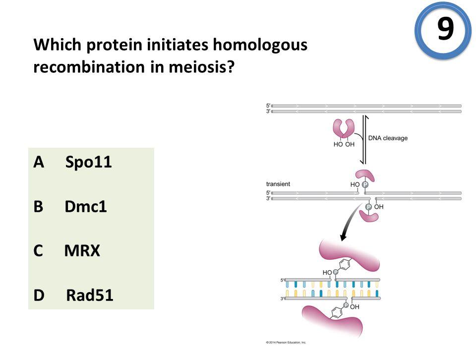 Which protein initiates homologous recombination in meiosis A Spo11 B Dmc1 C MRX D Rad51 9