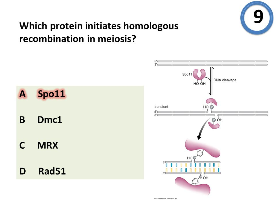 Which protein initiates homologous recombination in meiosis? 9