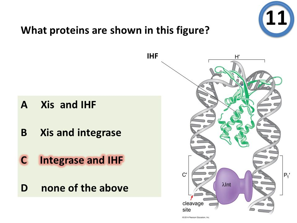 What proteins are shown in this figure? 11 IHF