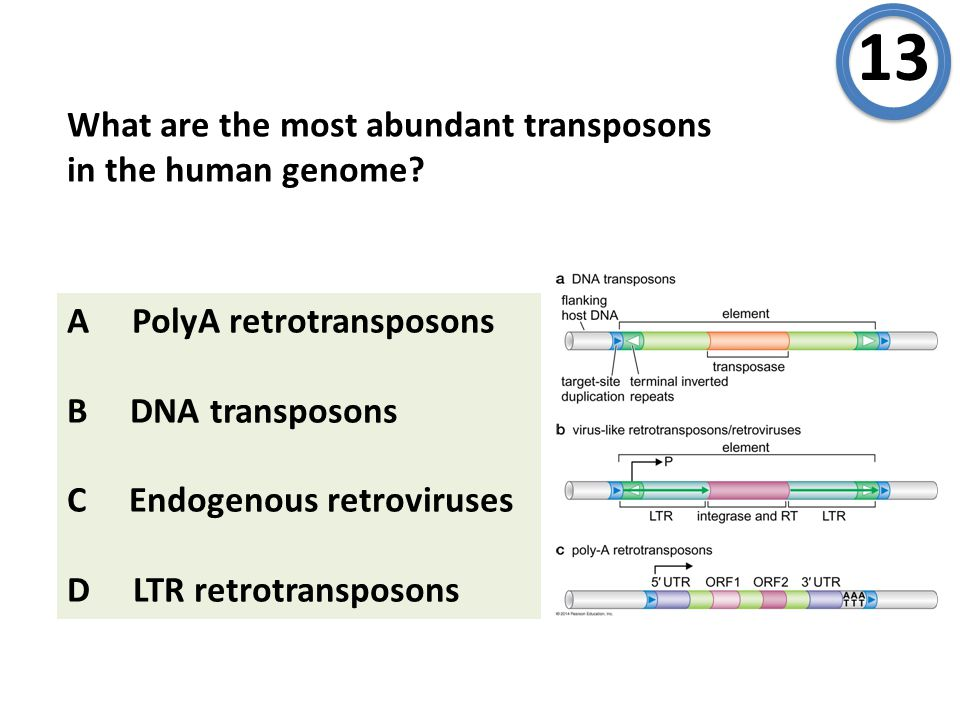What are the most abundant transposons in the human genome? 13 A PolyA retrotransposons B DNA transposons C Endogenous retroviruses D LTR retrotranspo