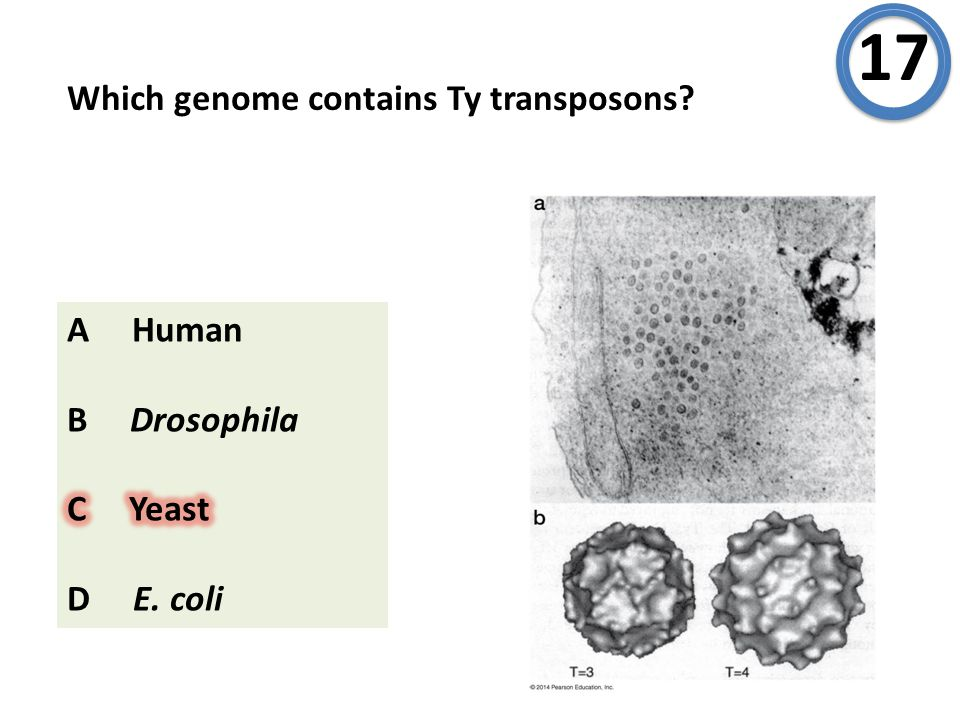 Which genome contains Ty transposons? 17