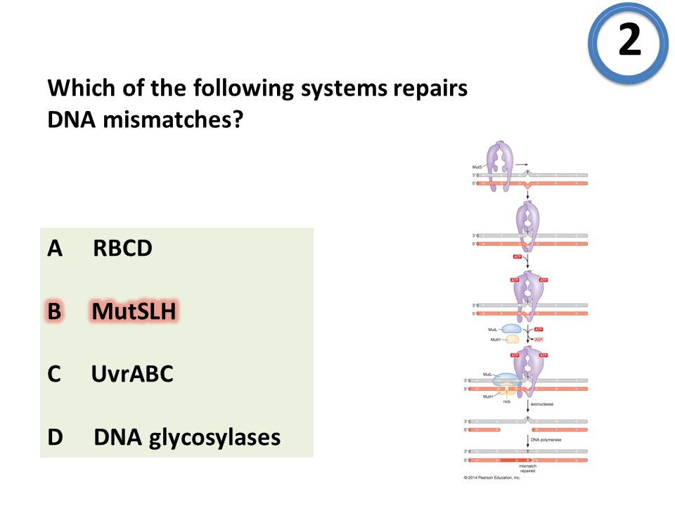 Which of the following systems repairs DNA mismatches? 2