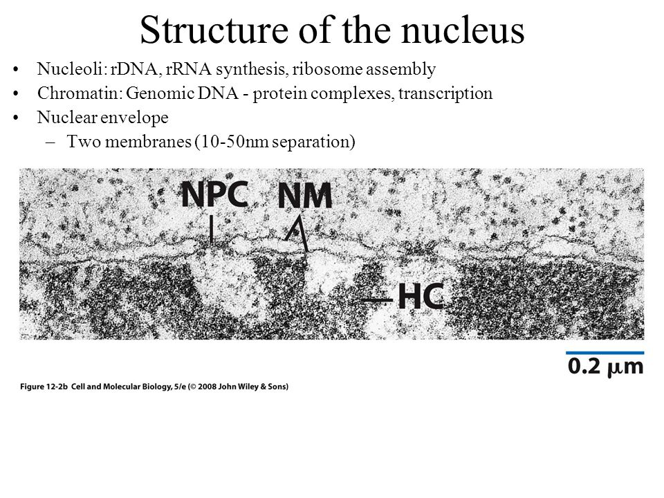 Structure of the nucleus Nucleoli: rDNA, rRNA synthesis, ribosome assembly Chromatin: Genomic DNA - protein complexes, transcription Nuclear envelope –Two membranes (10-50nm separation)