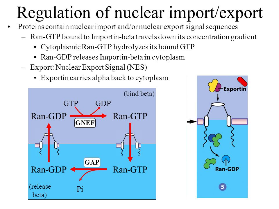 Regulation of nuclear import/export Proteins contain nuclear import and/or nuclear export signal sequences –Ran-GTP bound to Importin-beta travels down its concentration gradient Cytoplasmic Ran-GTP hydrolyzes its bound GTP Ran-GDP releases Importin-beta in cytoplasm –Export: Nuclear Export Signal (NES) Exportin carries alpha back to cytoplasm Ran-GTPRan-GDP GTP GDP Ran-GTPRan-GDP Pi GNEF GAP (bind beta) (release beta)