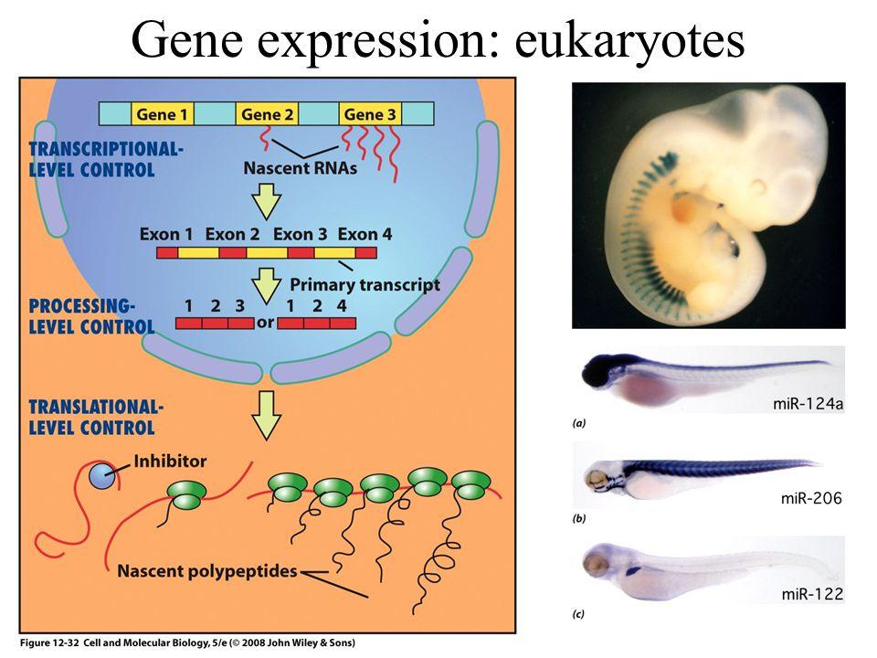 Gene expression: eukaryotes
