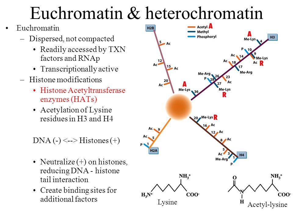 Euchromatin & heterochromatin Euchromatin –Dispersed, not compacted Readily accessed by TXN factors and RNAp Transcriptionally active –Histone modifications Histone Acetyltransferase enzymes (HATs) Acetylation of Lysine residues in H3 and H4 DNA (-) Histones (+) Neutralize (+) on histones, reducing DNA - histone tail interaction Create binding sites for additional factors Acetyl-lysine Lysine
