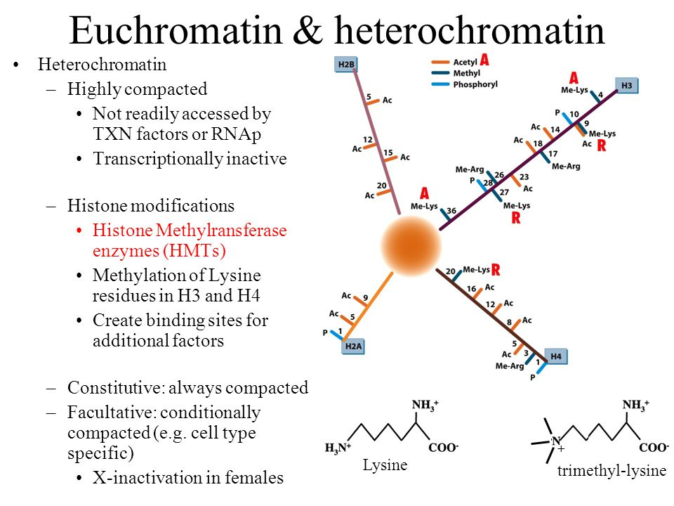 Euchromatin & heterochromatin Heterochromatin –Highly compacted Not readily accessed by TXN factors or RNAp Transcriptionally inactive –Histone modifications Histone Methylransferase enzymes (HMTs) Methylation of Lysine residues in H3 and H4 Create binding sites for additional factors –Constitutive: always compacted –Facultative: conditionally compacted (e.g.