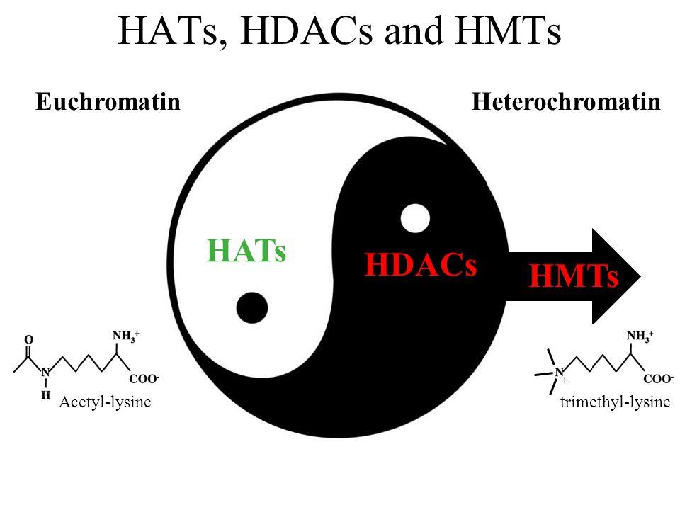 HATs, HDACs and HMTs EuchromatinHeterochromatin HATs HDACs HMTs Acetyl-lysinetrimethyl-lysine +