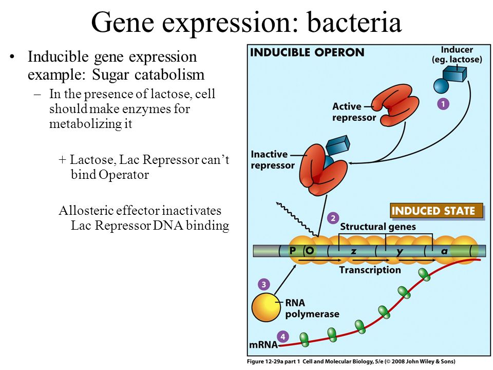 Gene expression: bacteria Inducible gene expression example: Sugar catabolism –In the presence of lactose, cell should make enzymes for metabolizing it + Lactose, Lac Repressor can't bind Operator Allosteric effector inactivates Lac Repressor DNA binding