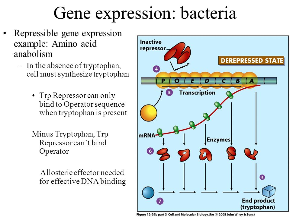 Gene expression: bacteria Repressible gene expression example: Amino acid anabolism –In the absence of tryptophan, cell must synthesize tryptophan Trp Repressor can only bind to Operator sequence when tryptophan is present Minus Tryptophan, Trp Repressor can't bind Operator Allosteric effector needed for effective DNA binding
