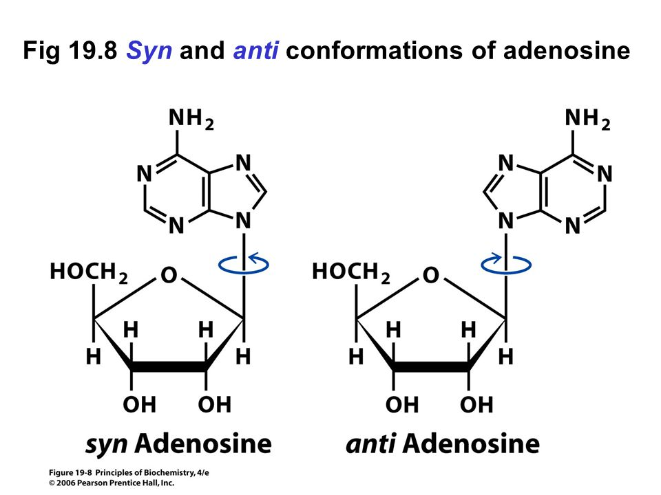 Fig 19.8 Syn and anti conformations of adenosine