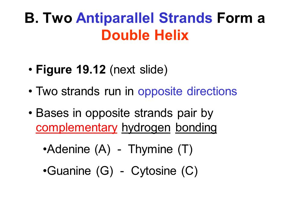 B. Two Antiparallel Strands Form a Double Helix Figure 19.12 (next slide) Two strands run in opposite directions Bases in opposite strands pair by com