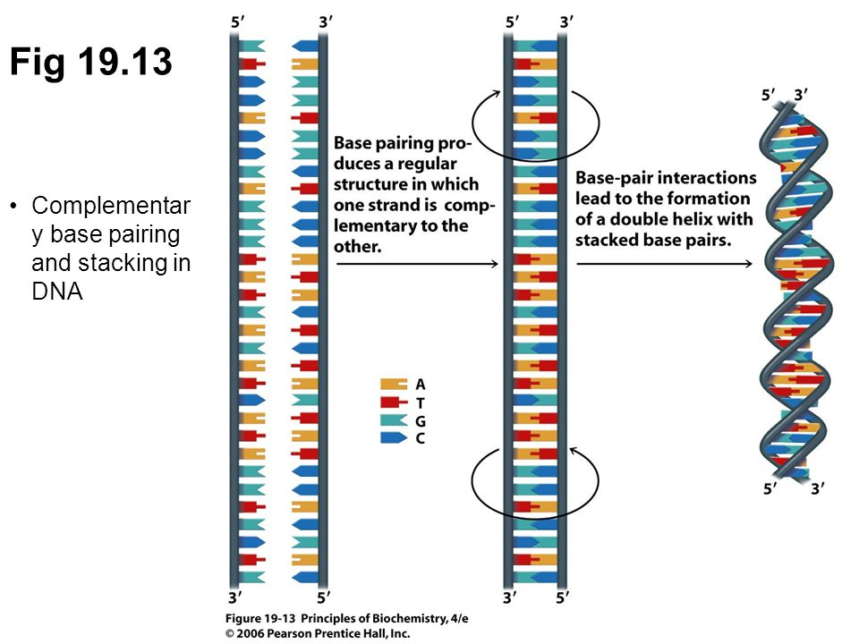 Fig 19.13 Complementar y base pairing and stacking in DNA