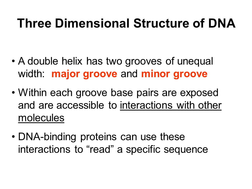 Three Dimensional Structure of DNA A double helix has two grooves of unequal width: major groove and minor groove Within each groove base pairs are exposed and are accessible to interactions with other molecules DNA-binding proteins can use these interactions to read a specific sequence