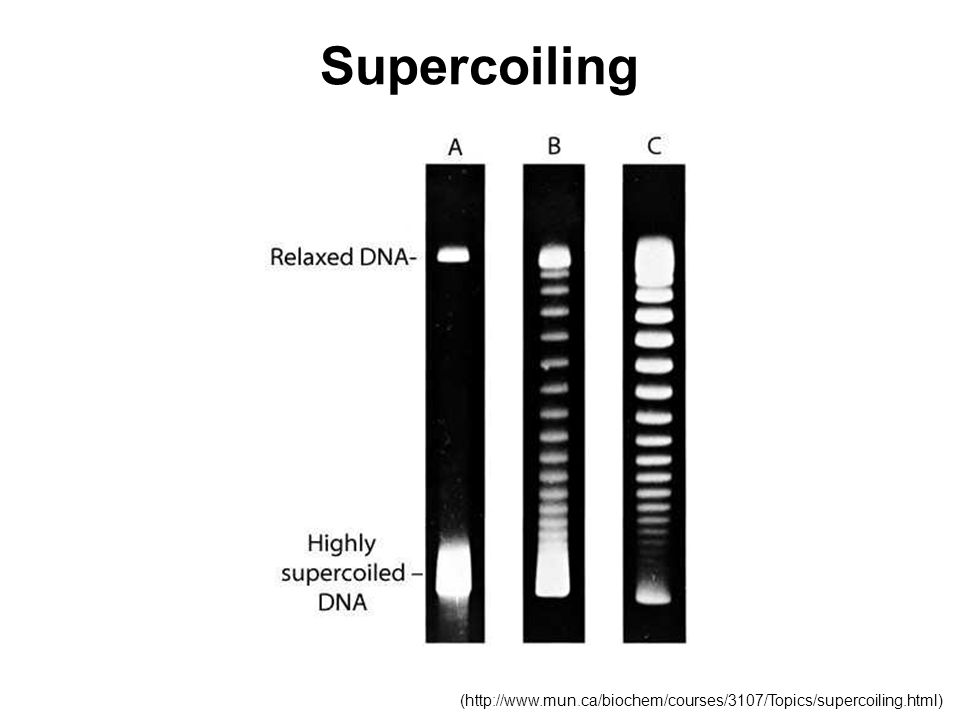 Supercoiling (http://www.mun.ca/biochem/courses/3107/Topics/supercoiling.html)