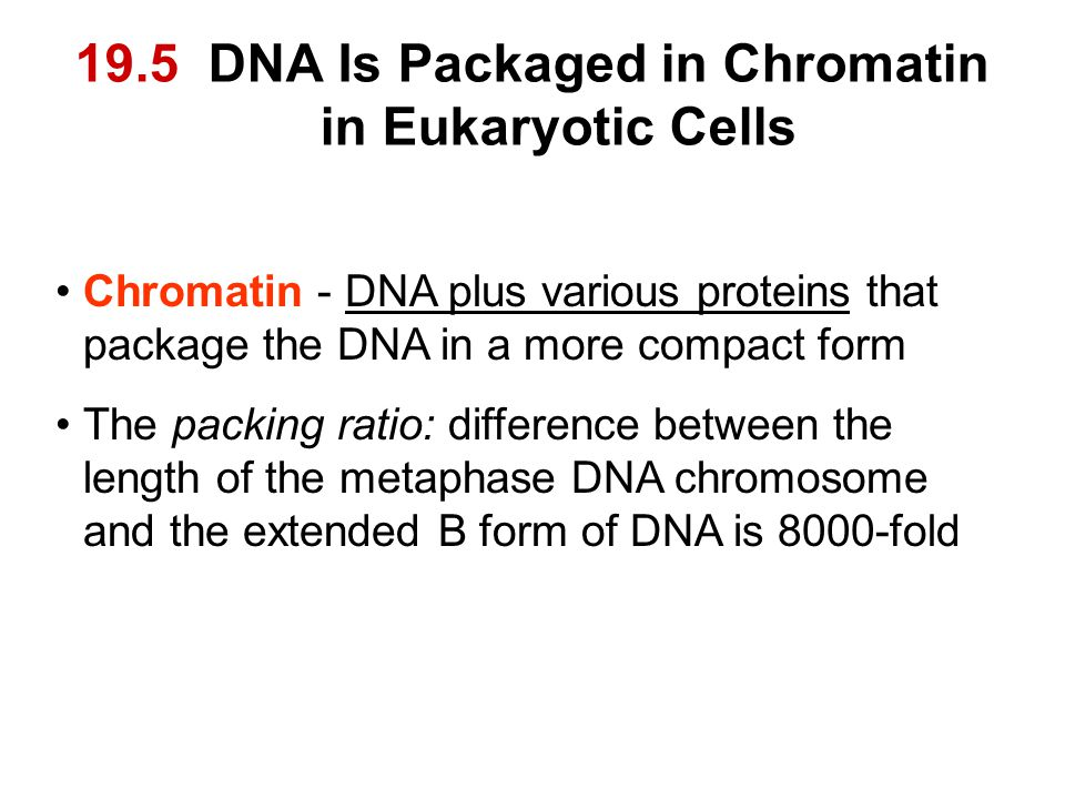 19.5 DNA Is Packaged in Chromatin in Eukaryotic Cells Chromatin - DNA plus various proteins that package the DNA in a more compact form The packing ratio: difference between the length of the metaphase DNA chromosome and the extended B form of DNA is 8000-fold