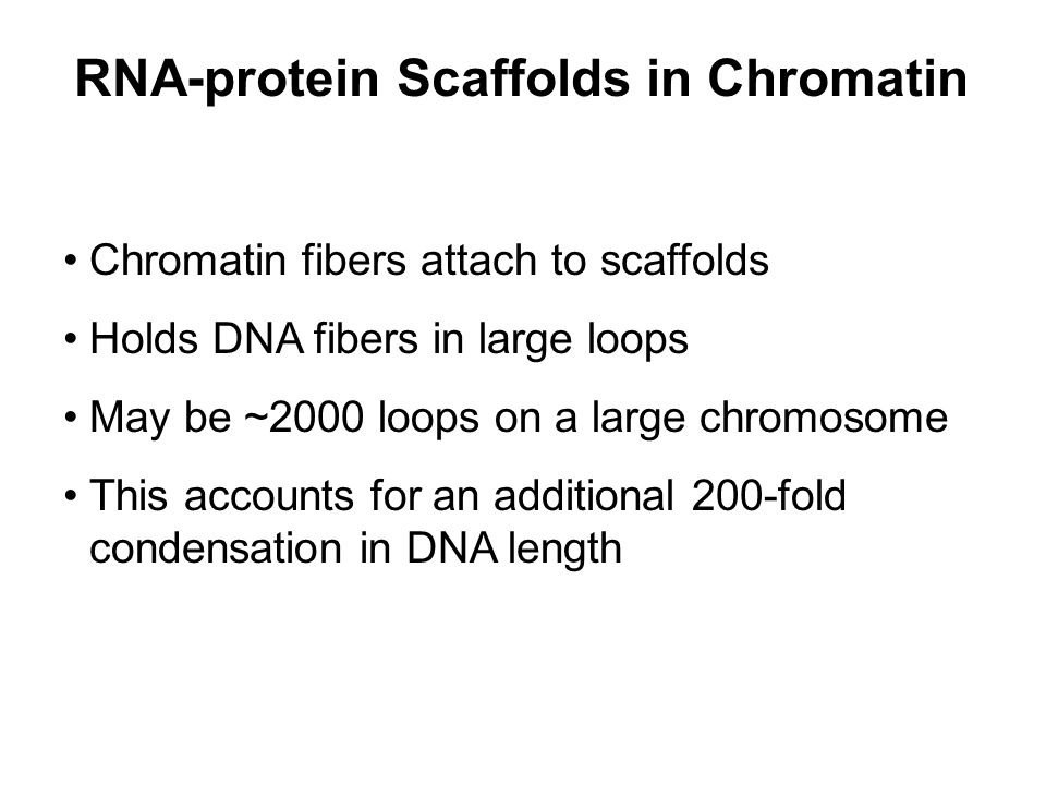 RNA-protein Scaffolds in Chromatin Chromatin fibers attach to scaffolds Holds DNA fibers in large loops May be ~2000 loops on a large chromosome This accounts for an additional 200-fold condensation in DNA length