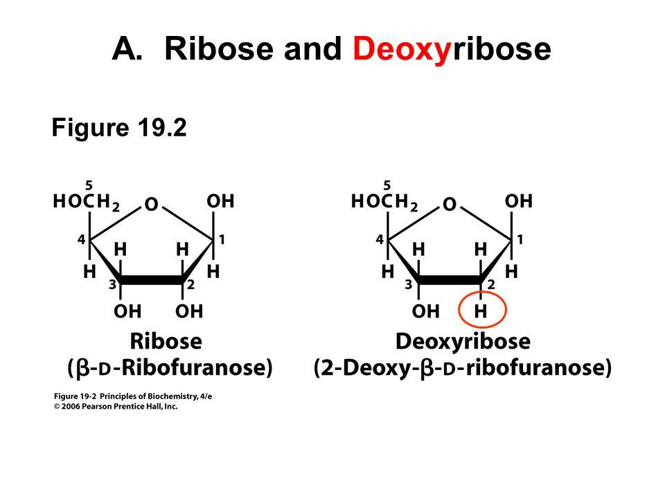 B. Purines and Pyrimidines Figure 19.3
