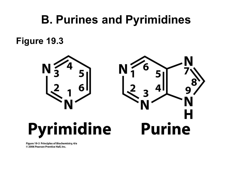 Fig 19.4 Major pyrimidines and purines
