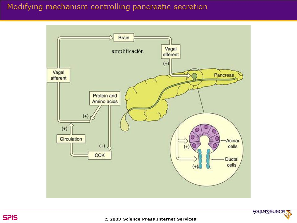 © 2003 Science Press Internet Services Modifying mechanism controlling pancreatic secretion amplificación