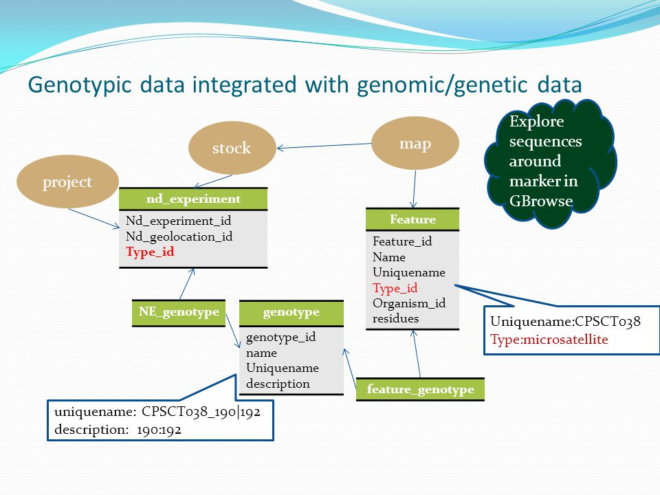 Genotypic data integrated with genomic/genetic data nd_experiment Nd_experiment_id Nd_geolocation_id Type_id genotype genotype_id name Uniquename description NE_genotype feature_genotype Feature Feature_id Name Uniquename Type_id Organism_id residues project stock uniquename: CPSCT038_190|192 description: 190:192 Uniquename:CPSCT038 Type:microsatellite map Explore sequences around marker in GBrowse