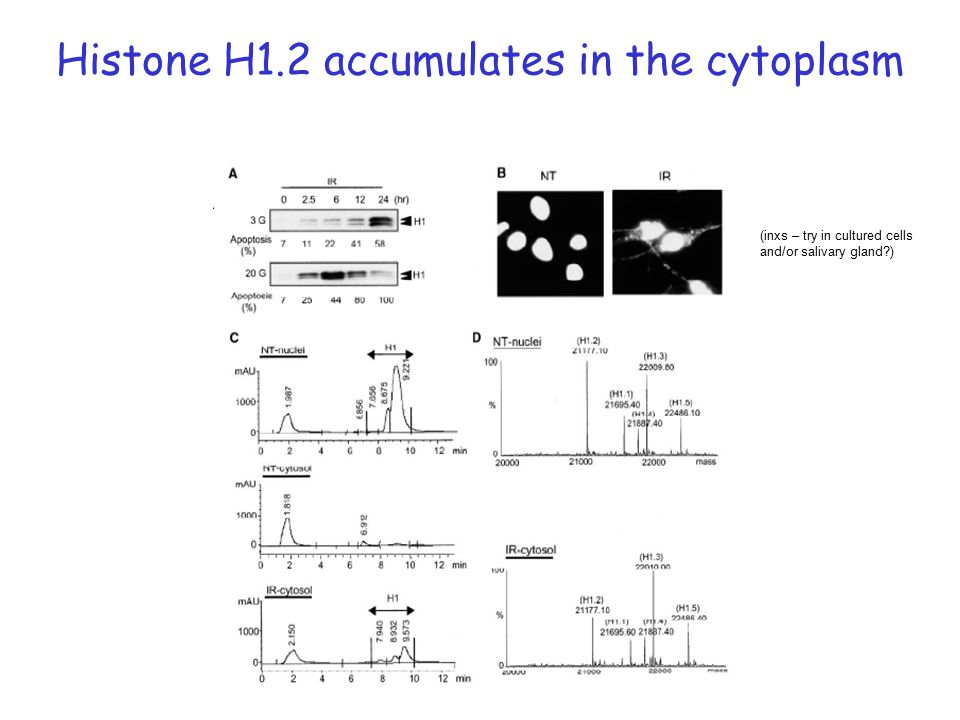 Histone H1.2 accumulates in the cytoplasm (inxs – try in cultured cells and/or salivary gland )