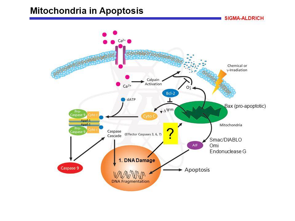 Mitochondria in Apoptosis SIGMA-ALDRICH Bax (pro-apoptotic) Smac/DIABLO Omi Endonuclease G 1. DNA Damage ?