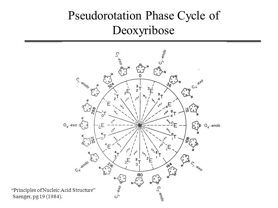 Pseudorotation Phase Cycle of Deoxyribose Principles of Nucleic Acid Structure Saenger, pg 19 (1984).