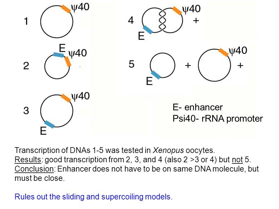 Basal factors RNAP II Enhancer with bound protein promoter Models for enhancer function