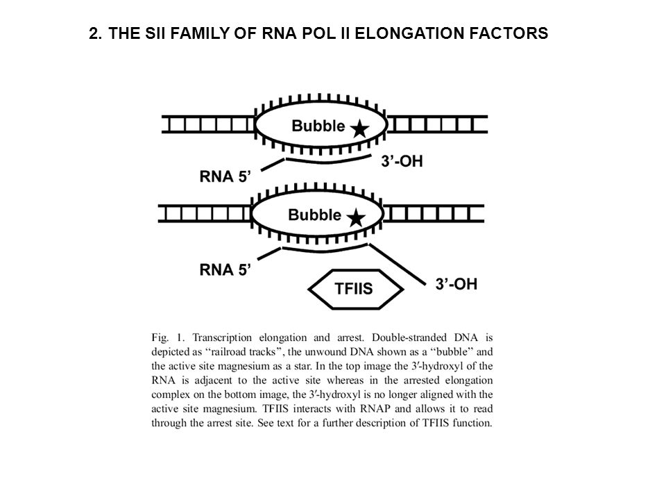 Two common things during transcriptional elongation: 1.Arrest (irreversible backsliding 7-14 nucleotides) 2.Pausing (back-tracking 2-4 nucleotides) RNA pol II is a long time not synthesizing RNA.