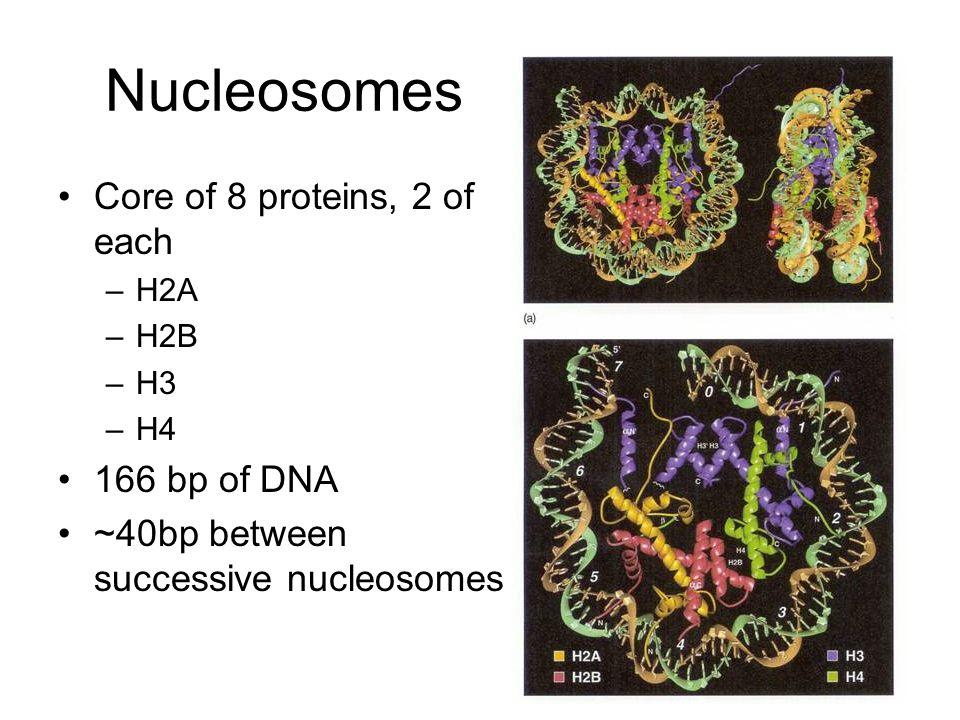 Chromosome Structure: The Metaphase Chromosome
