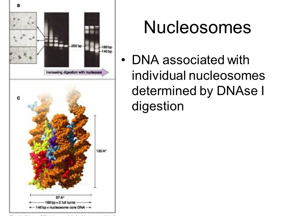 Nucleosomes DNA associated with individual nucleosomes determined by DNAse I digestion
