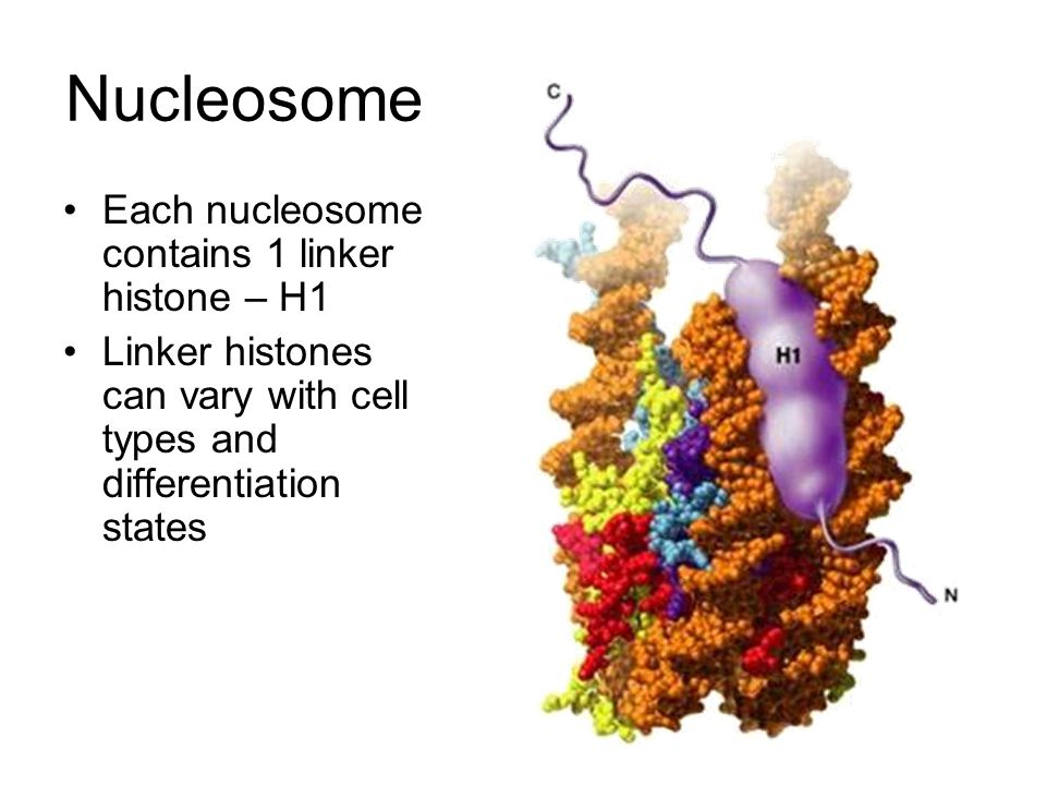 Nucleosome Each nucleosome contains 1 linker histone – H1 Linker histones can vary with cell types and differentiation states