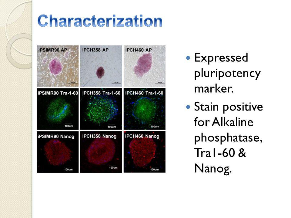 Expressed pluripotency marker. Stain positive for Alkaline phosphatase, Tra1-60 & Nanog.