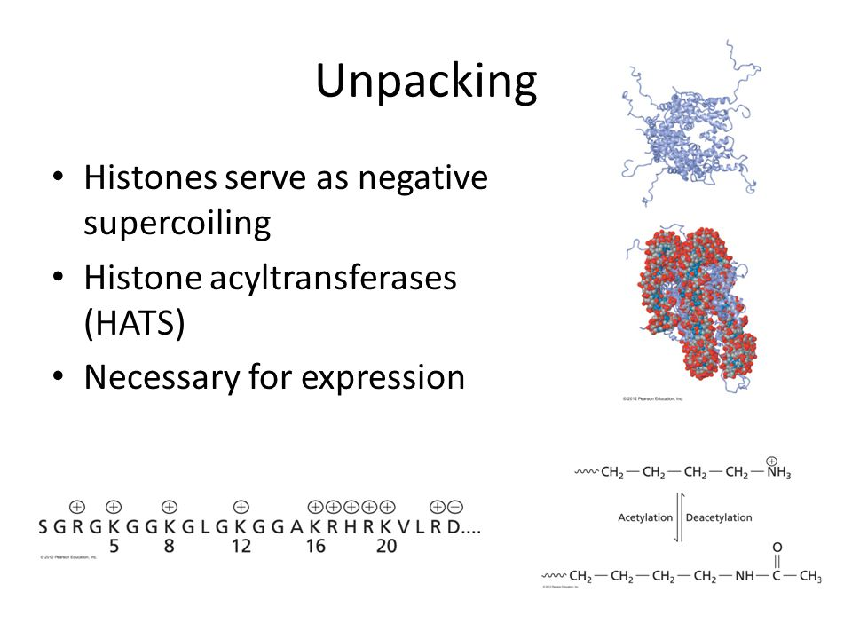 Unpacking Histones serve as negative supercoiling Histone acyltransferases (HATS) Necessary for expression