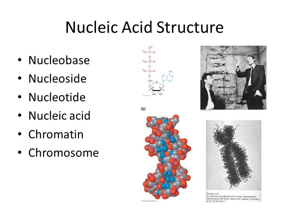Nucleic Acid Structure Nucleobase Nucleoside Nucleotide Nucleic acid Chromatin Chromosome