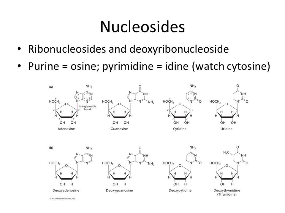 Nucleosides Ribonucleosides and deoxyribonucleoside Purine = osine; pyrimidine = idine (watch cytosine)