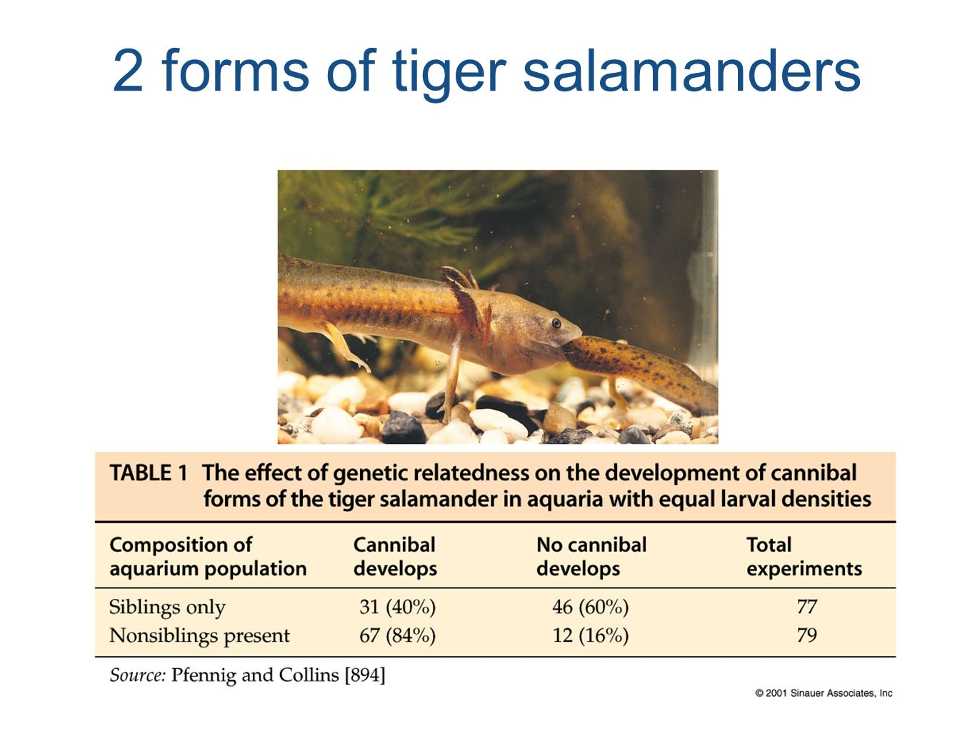 2 forms of tiger salamanders