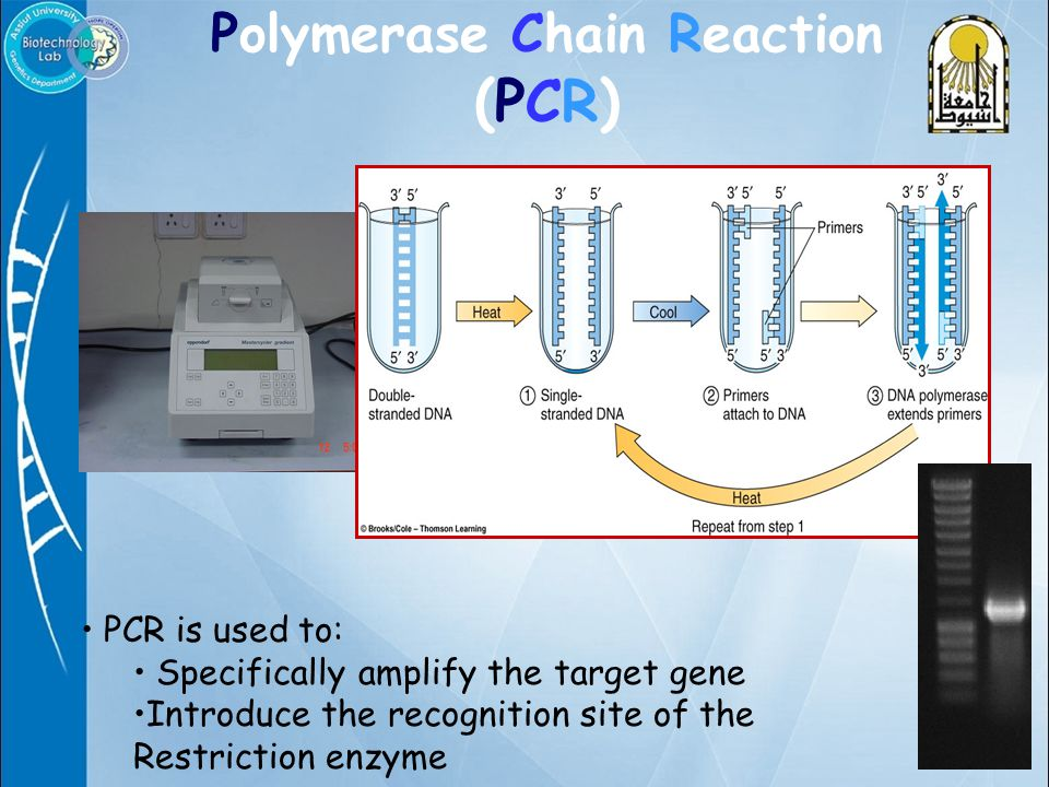 Polymerase Chain Reaction (PCR) PCR is used to: Specifically amplify the target gene Introduce the recognition site of the Restriction enzyme