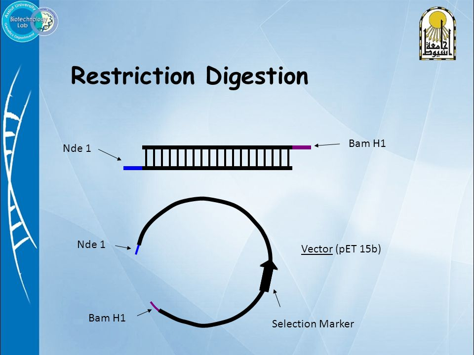 Restriction Digestion Bam H1 Nde 1 Bam H1 Selection Marker Vector (pET 15b)