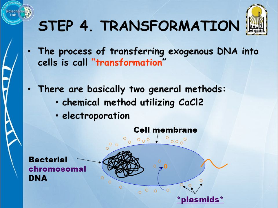 """STEP 4. TRANSFORMATION The process of transferring exogenous DNA into cells is call """"transformation"""" There are basically two general methods: chemical"""