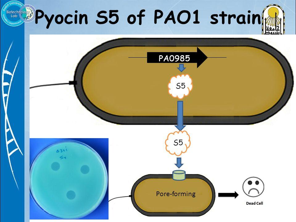 Pyocin S5 of PAO1 strain PA0985 S5 Pore-forming