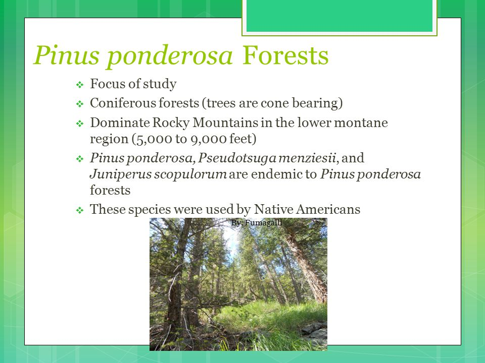 Pinus ponderosa Forests  Focus of study  Coniferous forests (trees are cone bearing)  Dominate Rocky Mountains in the lower montane region (5,000 to 9,000 feet)  Pinus ponderosa, Pseudotsuga menziesii, and Juniperus scopulorum are endemic to Pinus ponderosa forests  These species were used by Native Americans By: Fumagalli